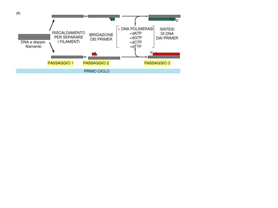 PCR: amplificazione numero cicli 1 3 10 15 20 25 30 numero sequenze bersaglio 0 2 256 8192 262.144 8.388.608 268.435.456 sequenza bersaglio La sequenza bersaglio è la sequenza di DNA sintetizzata tra i due primers