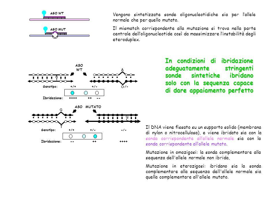 ASO WT ASO MUT Vengono sintetizzate sonde oligonucleotidiche sia per l'allele normale che per quello mutato. Il mismatch corrispondente alla mutazione