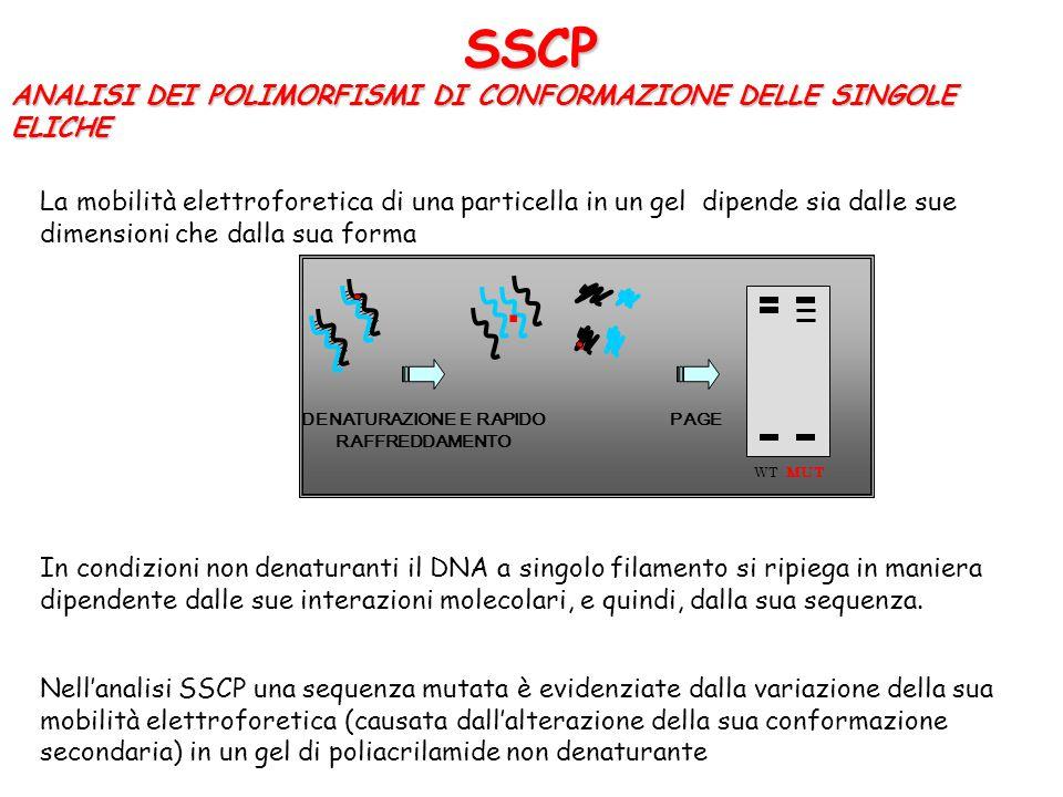 SSCP ANALISI DEI POLIMORFISMI DI CONFORMAZIONE DELLE SINGOLE ELICHE La mobilità elettroforetica di una particella in un gel dipende sia dalle sue dime
