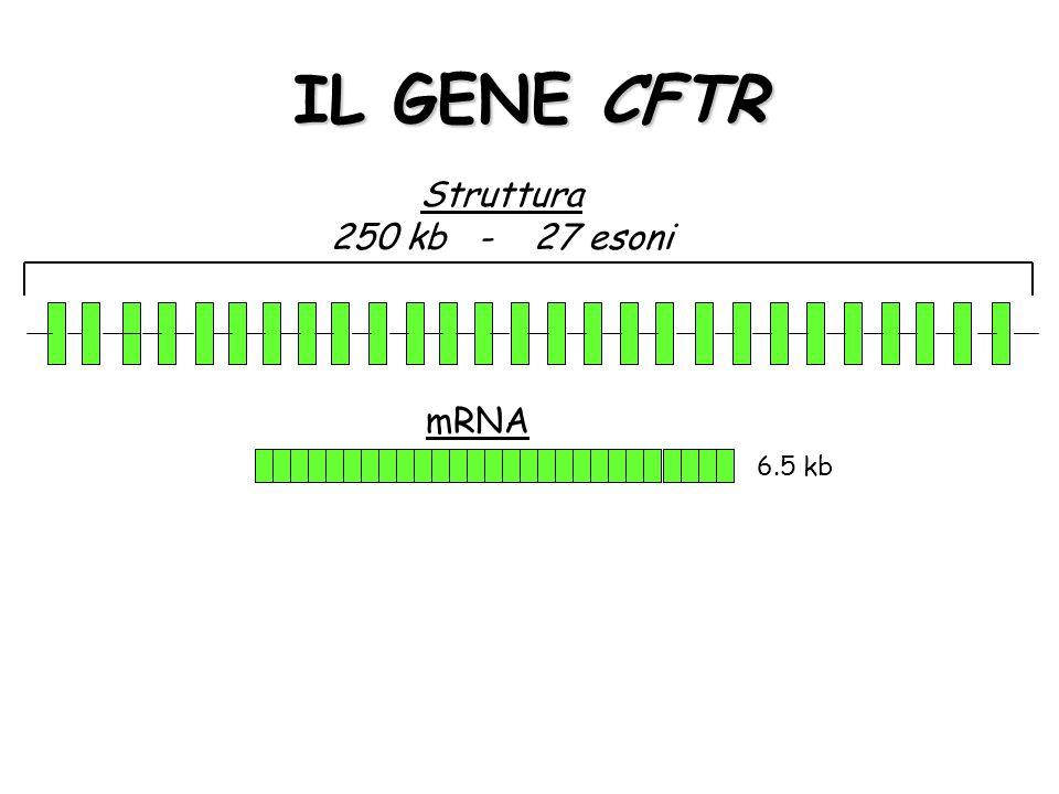 IL GENE CFTR Struttura 250 kb - 27 esoni mRNA 6.5 kb