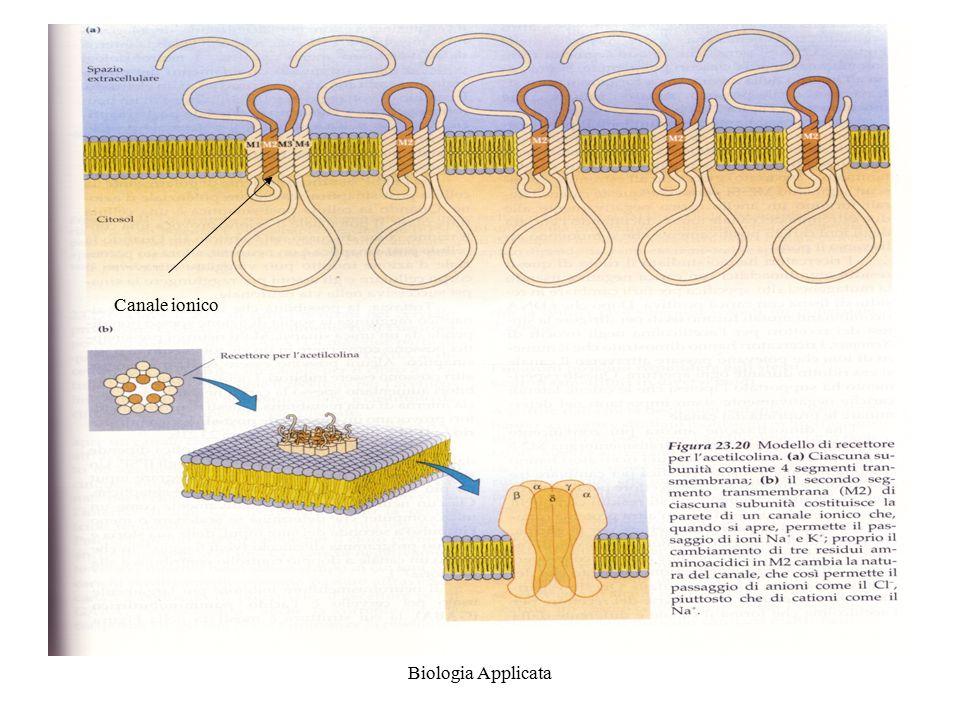 Biologia Applicata neurotrasmettitori I neurotrasmettitori possono produrre effetti inibitori e eccitatori Quando i cationi come il Na+ passano attraverso al membrana questa si depolarizza La faccia interna diventa negativa Il cambio di voltaggio indotto da un neurotrasmettitore si dice potenziale post-sinaptico o EPSP Nel caso dell'acetilcolina si produce un potenziale post-sinaptico di eccitazione detto EPSP eccitatorio.