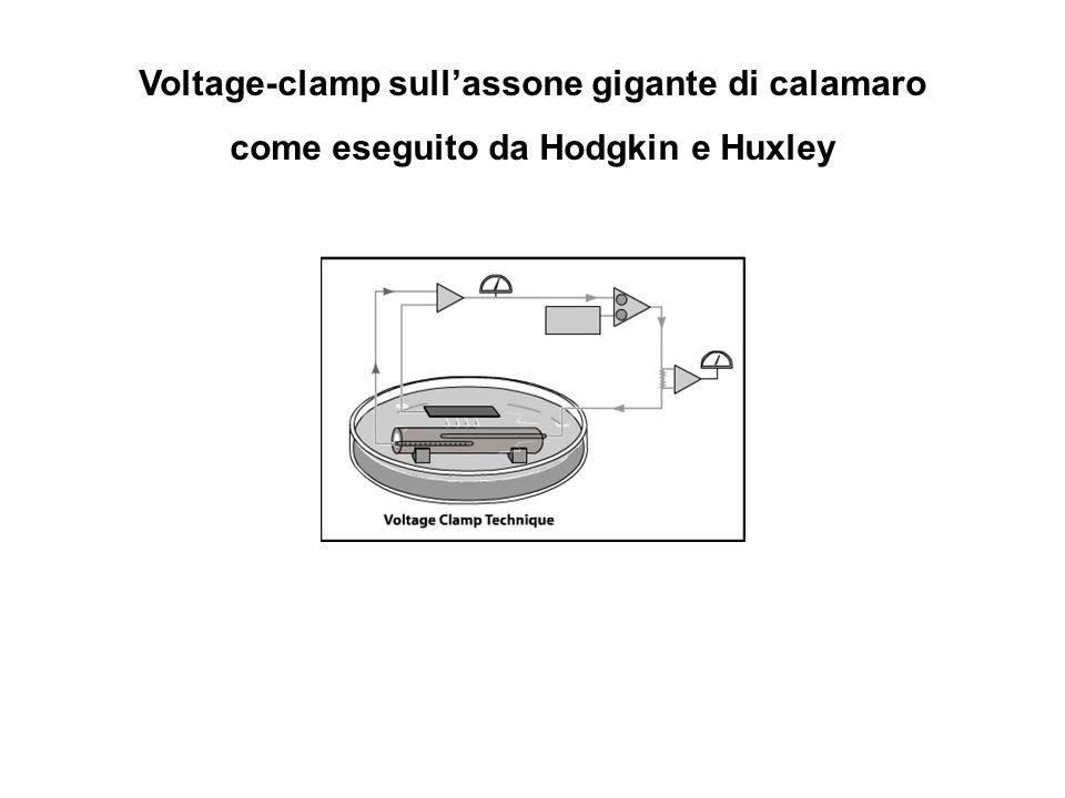 Voltage-clamp sull'assone gigante di calamaro come eseguito da Hodgkin e Huxley