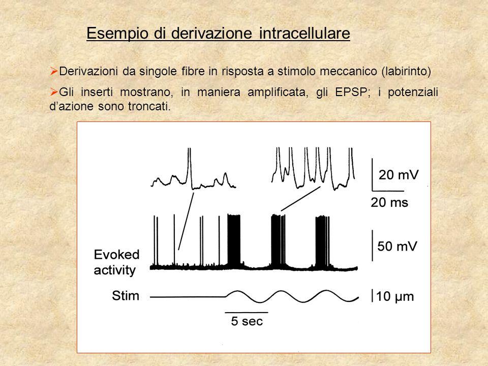 Esempio di derivazione intracellulare  Derivazioni da singole fibre in risposta a stimolo meccanico (labirinto)  Gli inserti mostrano, in maniera amplificata, gli EPSP; i potenziali d'azione sono troncati.