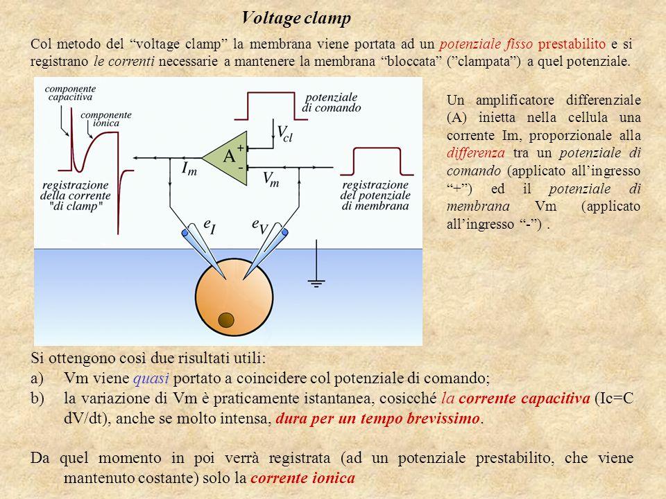 Voltage clamp Col metodo del voltage clamp la membrana viene portata ad un potenziale fisso prestabilito e si registrano le correnti necessarie a mantenere la membrana bloccata ( clampata ) a quel potenziale.