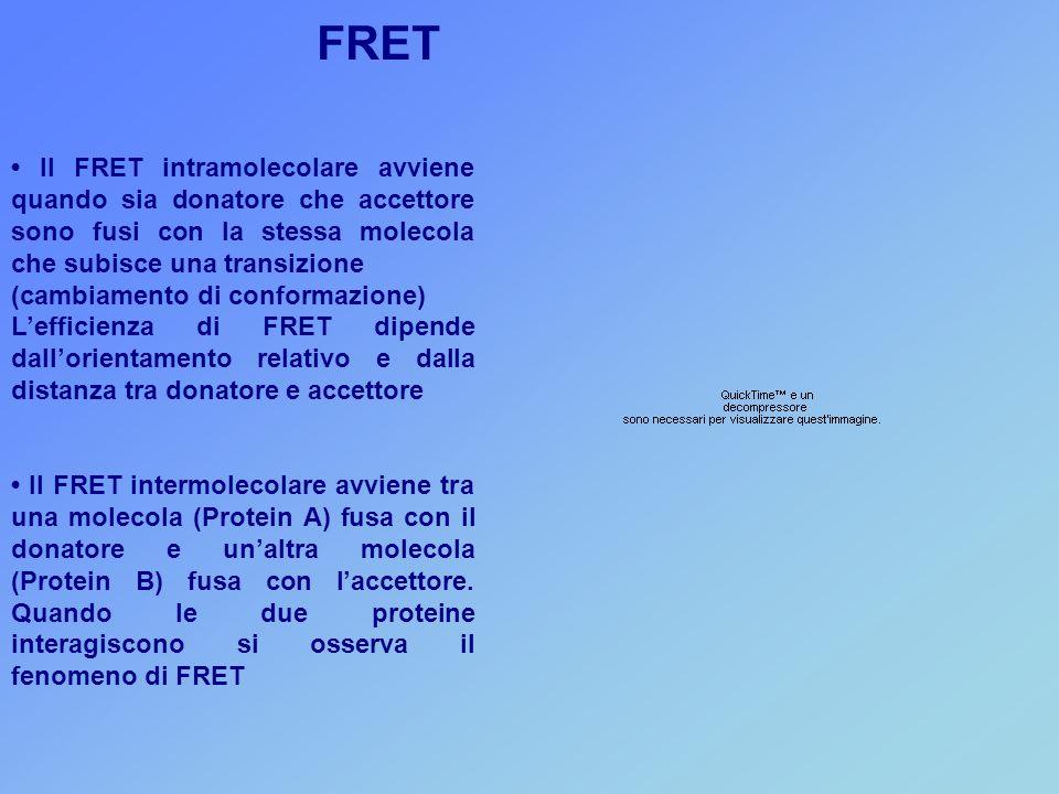 Il FRET intramolecolare avviene quando sia donatore che accettore sono fusi con la stessa molecola che subisce una transizione (cambiamento di conformazione) L'efficienza di FRET dipende dall'orientamento relativo e dalla distanza tra donatore e accettore Il FRET intermolecolare avviene tra una molecola (Protein A) fusa con il donatore e un'altra molecola (Protein B) fusa con l'accettore.