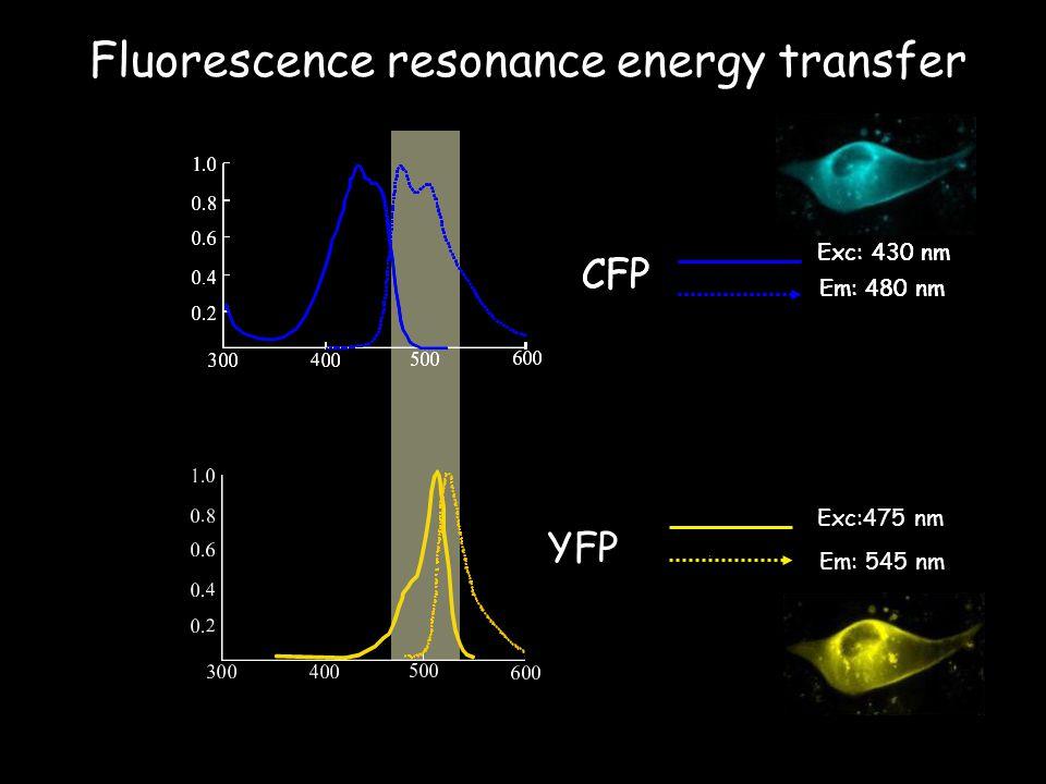 Fluorescence resonance energy transfer YFP Exc:475 nm Em: 545 nm CFP Exc: 430 nm Em: 480 nm