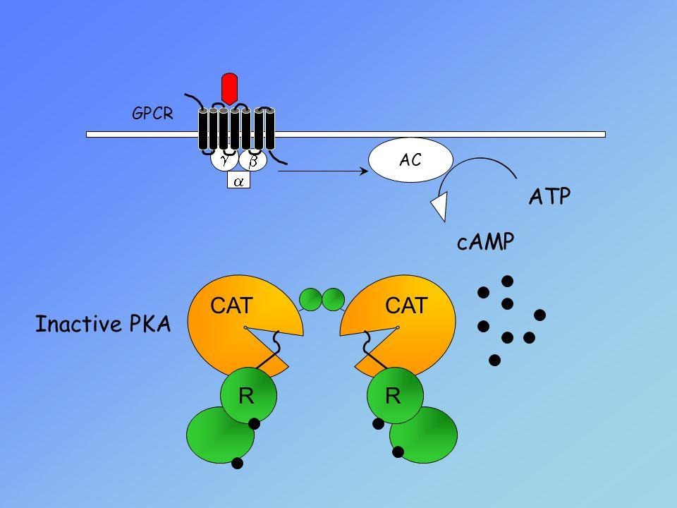 Inactive PKA    AC GPCR CAT RR ATP cAMP