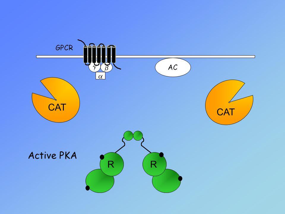    AC GPCR Active PKA CAT RR