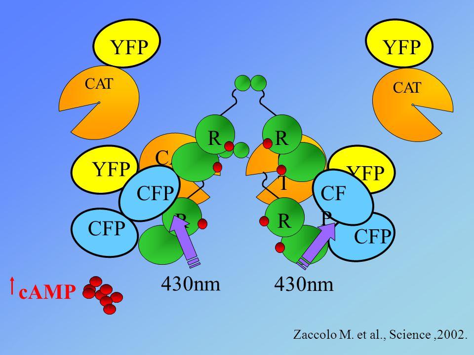 cAMP YFP CFP YFP CFP CA T RR 430nm YFP CAT YFP CAT CFP R Reg.