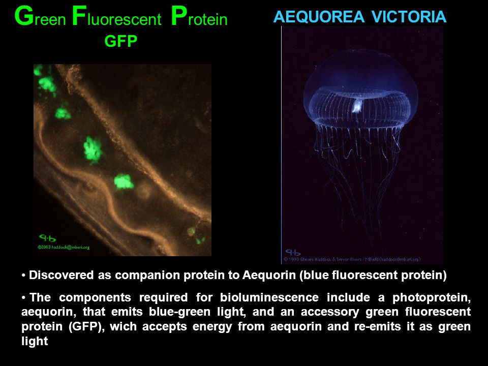 AEQUOREA VICTORIA Discovered as companion protein to Aequorin (blue fluorescent protein) The components required for bioluminescence include a photopr