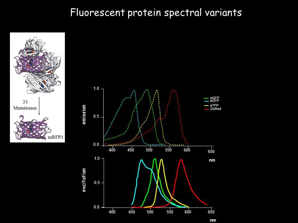 Fluorescent protein spectral variants 0.0 1.0 0.5 450500550600650 400 eGFP 1.0 0.5 400450500550600 650 emission excitation nm eCFP DsRed eYFP