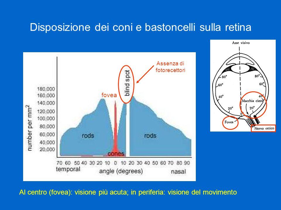 Disposizione dei coni e bastoncelli sulla retina Al centro (fovea): visione più acuta; in periferia: visione del movimento Assenza di fotorecettori fovea