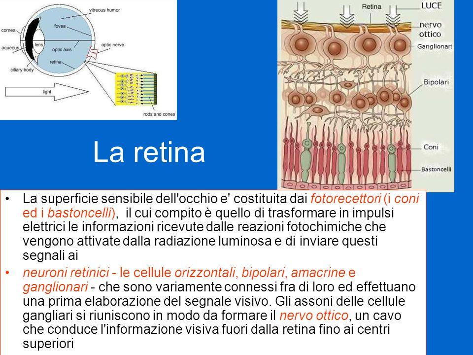 La retina La superficie sensibile dell occhio e costituita dai fotorecettori (i coni ed i bastoncelli), il cui compito è quello di trasformare in impulsi elettrici le informazioni ricevute dalle reazioni fotochimiche che vengono attivate dalla radiazione luminosa e di inviare questi segnali ai neuroni retinici - le cellule orizzontali, bipolari, amacrine e ganglionari - che sono variamente connessi fra di loro ed effettuano una prima elaborazione del segnale visivo.