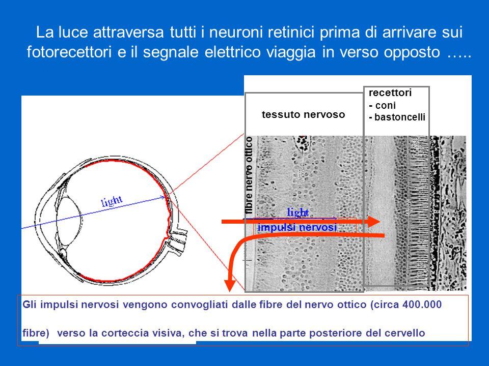Fotorecettori cono bastoncello Coni sensibili ai colori visione diurna sono più numerosi al centro (fovea) 6 ml per occhio
