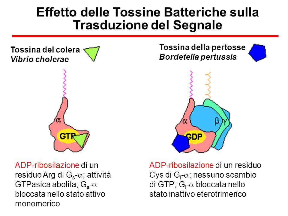 Utilizzo della configurazione di cell-attached per lo studio dei canali al K + muscarinici  Nella modulazione di tale canale non è coinvolto un secondo messaggero intracellulare diffusibile Inoltre: Se la cellula è trattata con PTX non c'è alcuna attività neanche con l'Ach nella pipetta  È probabile che sia coinvolta una proteina G PTX-sensibile (Gi/Go)