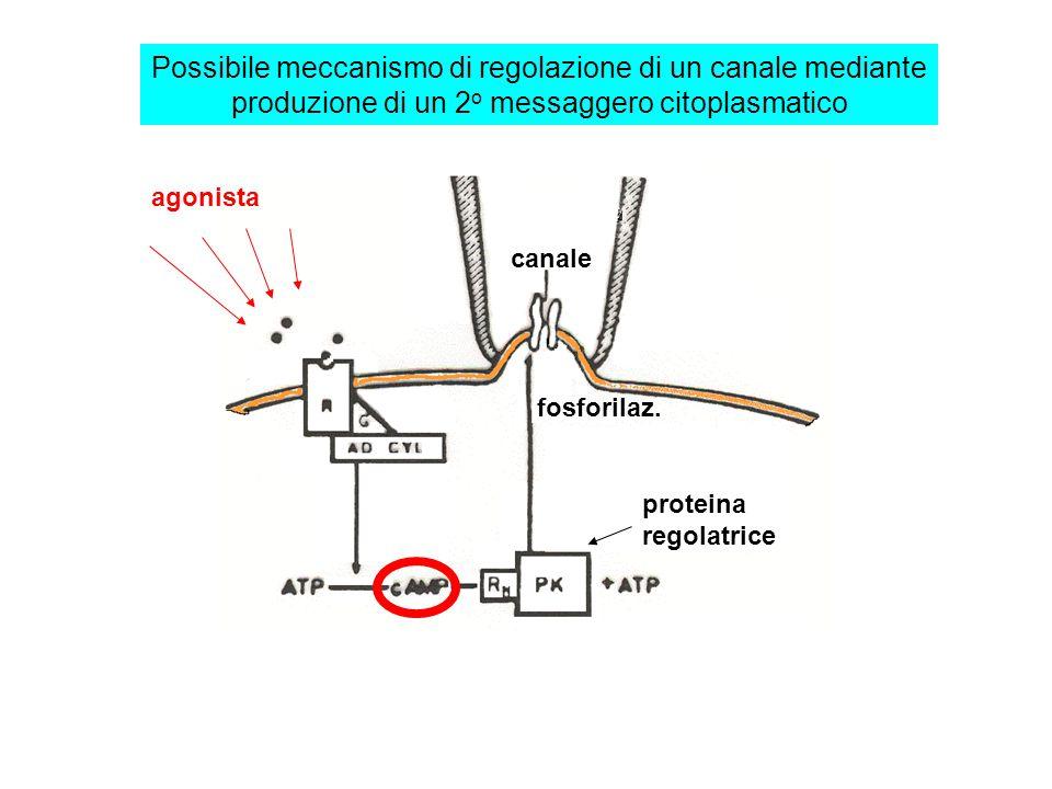 Regolazione della funzione dei canali ionici canale ionico Recettore Enzima effettore 2 o messaggero .