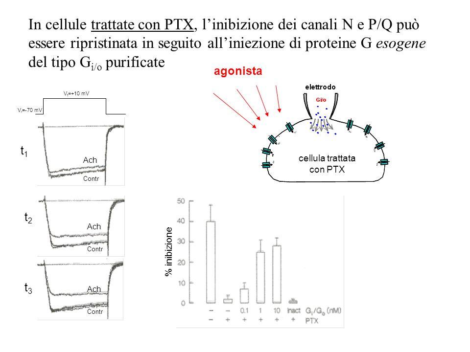 Se le cellule sono trattate con tossina della pertosse (PTX) l'inibizione mediata dal recettore a 7 DT è trascurabile È coinvolta una proteina G del t