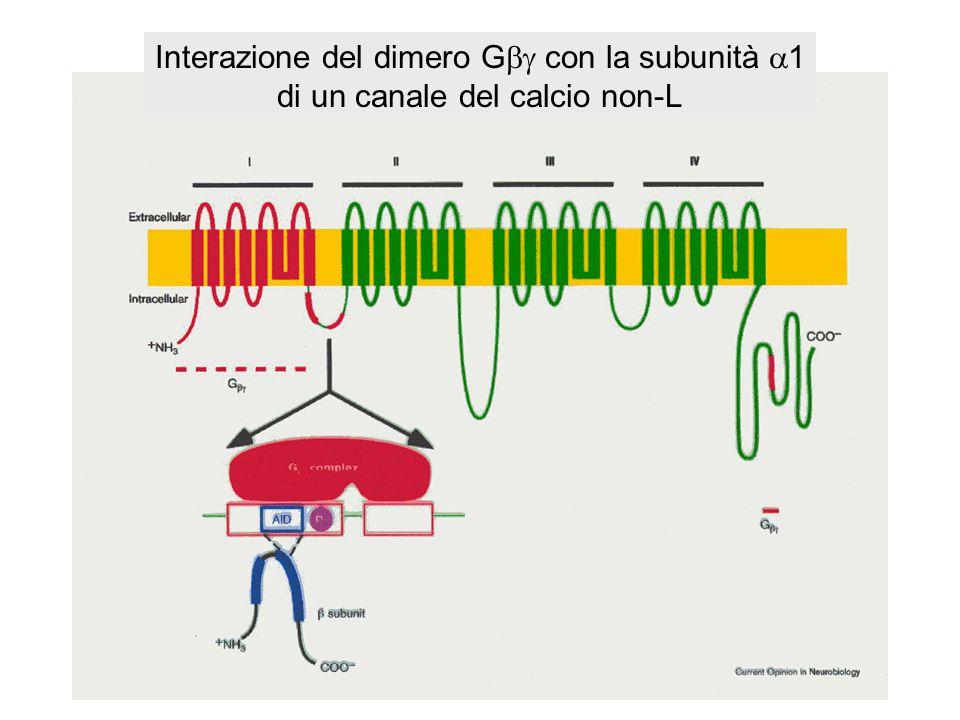 In cellule trattate con PTX, l'inibizione dei canali N e P/Q può essere ripristinata in seguito all'iniezione di proteine G esogene del tipo G i/o pur