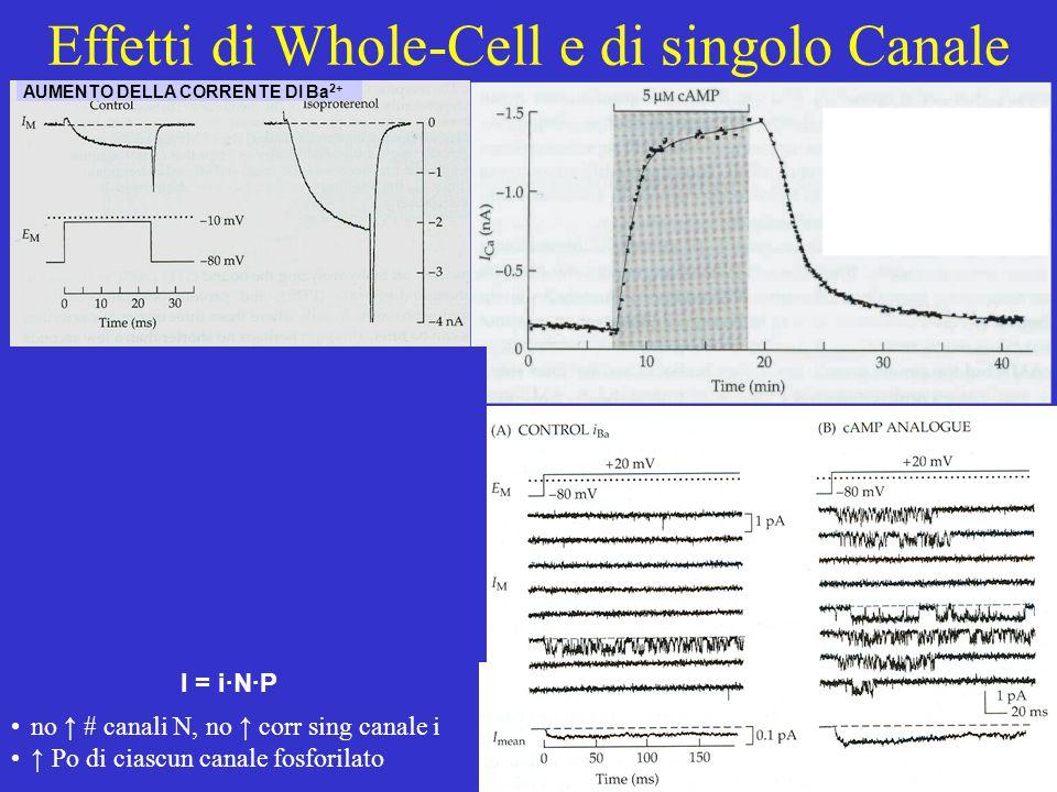 Possibile meccanismo di regolazione di un canale mediante produzione di un 2 o messaggero citoplasmatico canale proteina regolatrice fosforilaz. agoni