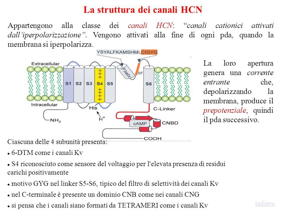 no ↑ # canali N, no ↑ corr sing canale i ↑ Po di ciascun canale fosforilato Effetti di Whole-Cell e di singolo Canale AUMENTO DELLA CORRENTE DI Ba 2+