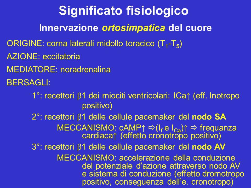 Modulazione dei Canali f Di grande importanza è la modulazione (variazione della sensibilità al voltaggio) dei canali f operata dall'orto- e dal para-simpatico tramite i rispettivi neurotrasmettitori.