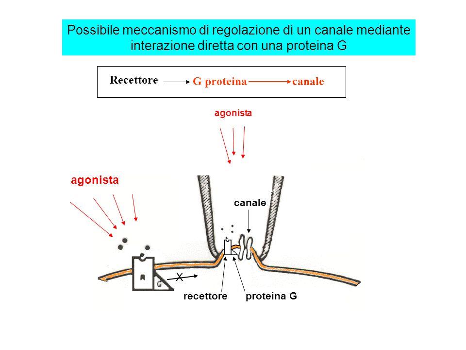 Innervazione ortosimpatica del cuore ORIGINE: corna laterali midollo toracico (T 1 -T 5 ) AZIONE: eccitatoria MEDIATORE: noradrenalina BERSAGLI: 1°: recettori  1 dei miociti ventricolari: ICa↑ (eff.