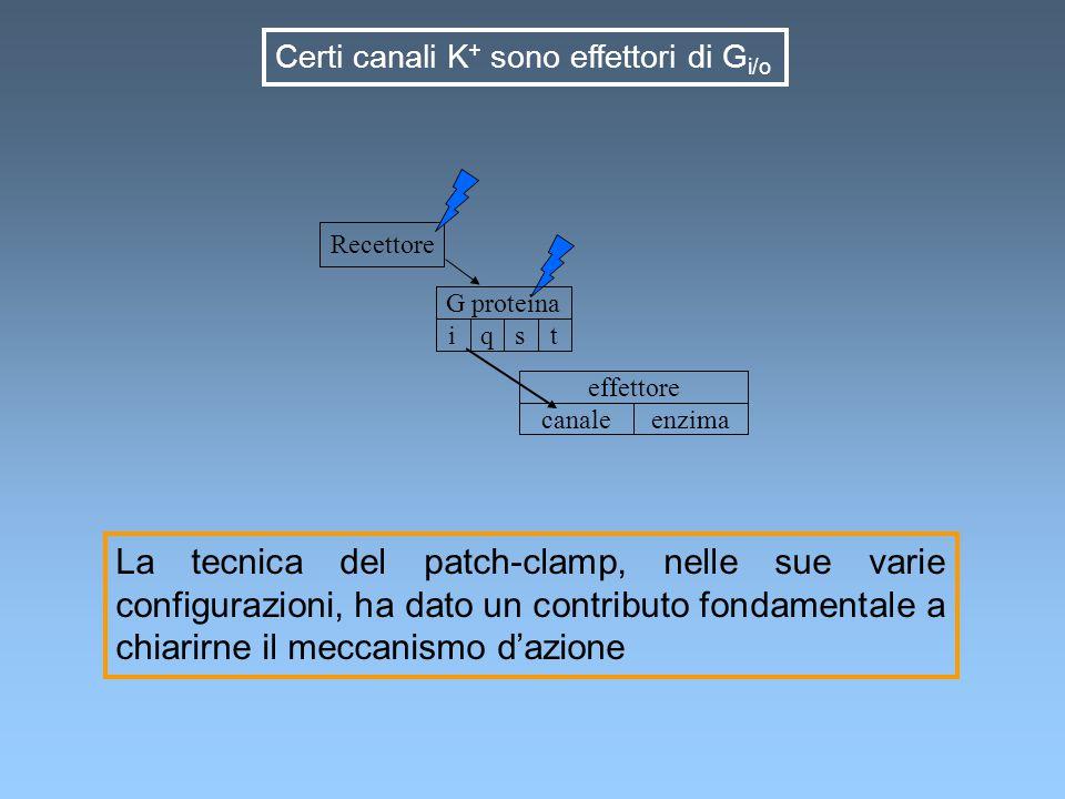 Possibile meccanismo di regolazione di un canale mediante interazione diretta con una proteina G recettoreproteina G canale X agonista Recettore G proteina canale