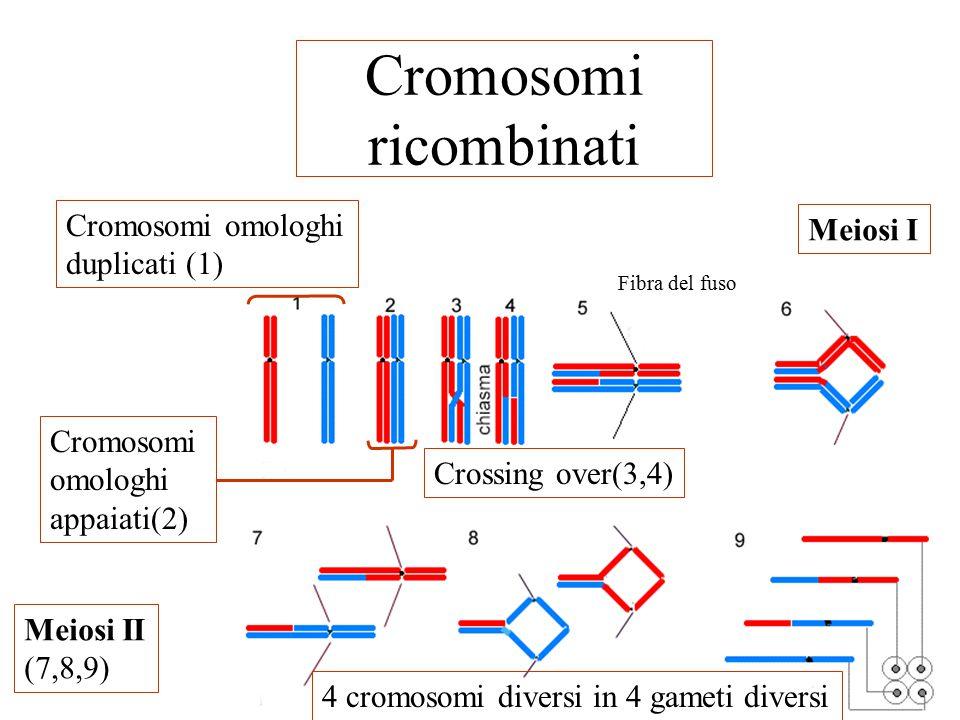 Cromosomi ricombinati Fibra del fuso Cromosomi omologhi duplicati (1) Cromosomi omologhi appaiati(2) Crossing over(3,4) Meiosi I Meiosi II (7,8,9) 4 cromosomi diversi in 4 gameti diversi
