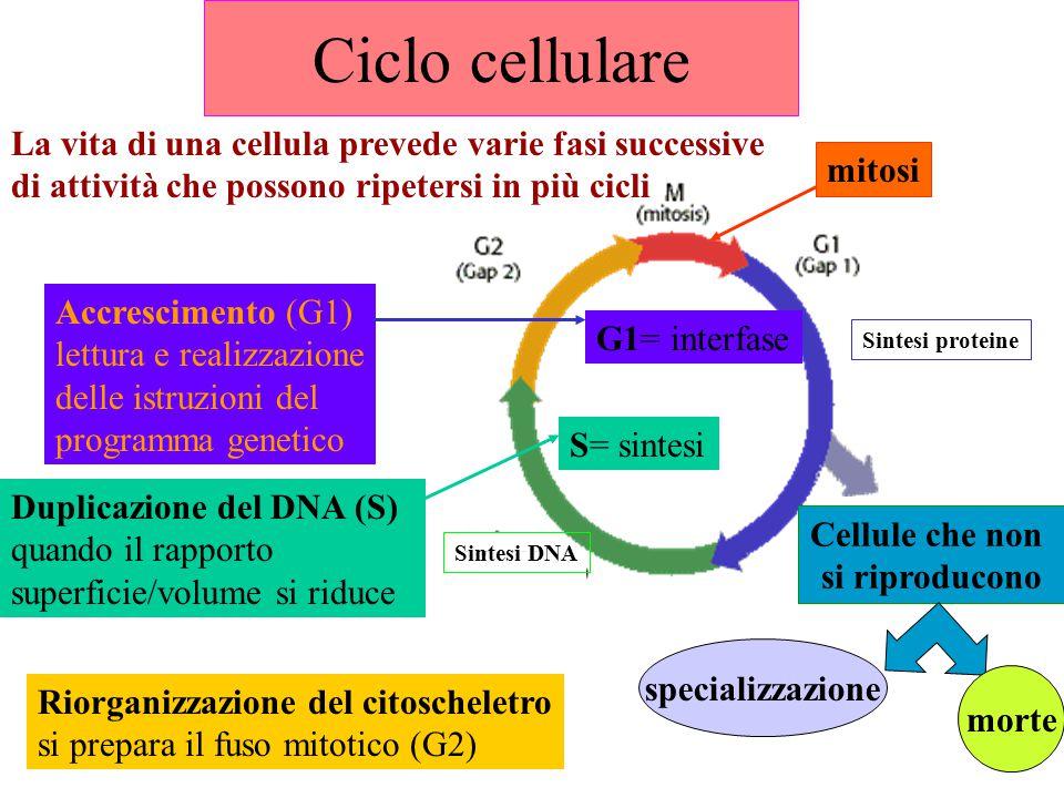 Ciclo cellulare G1= interfase S= sintesi Cellule che non si riproducono specializzazione morte Sintesi proteine La vita di una cellula prevede varie fasi successive di attività che possono ripetersi in più cicli Accrescimento (G1) lettura e realizzazione delle istruzioni del programma genetico Duplicazione del DNA (S) quando il rapporto superficie/volume si riduce Riorganizzazione del citoscheletro si prepara il fuso mitotico (G2) mitosi Sintesi DNA