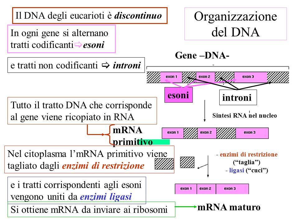 Organizzazione del DNA Gene –DNA- mRNA primitivo Il DNA degli eucarioti è discontinuo In ogni gene si alternano tratti codificanti  esoni e tratti non codificanti  introni Tutto il tratto DNA che corrisponde al gene viene ricopiato in RNA Nel citoplasma l'mRNA primitivo viene tagliato dagli enzimi di restrizione e i tratti corrispondenti agli esoni vengono uniti da enzimi ligasi Si ottiene mRNA da inviare ai ribosomi introni esoni mRNA maturo - enzimi di restrizione ( taglia ) - ligasi ( cuci ) Sintesi RNA nel nucleo