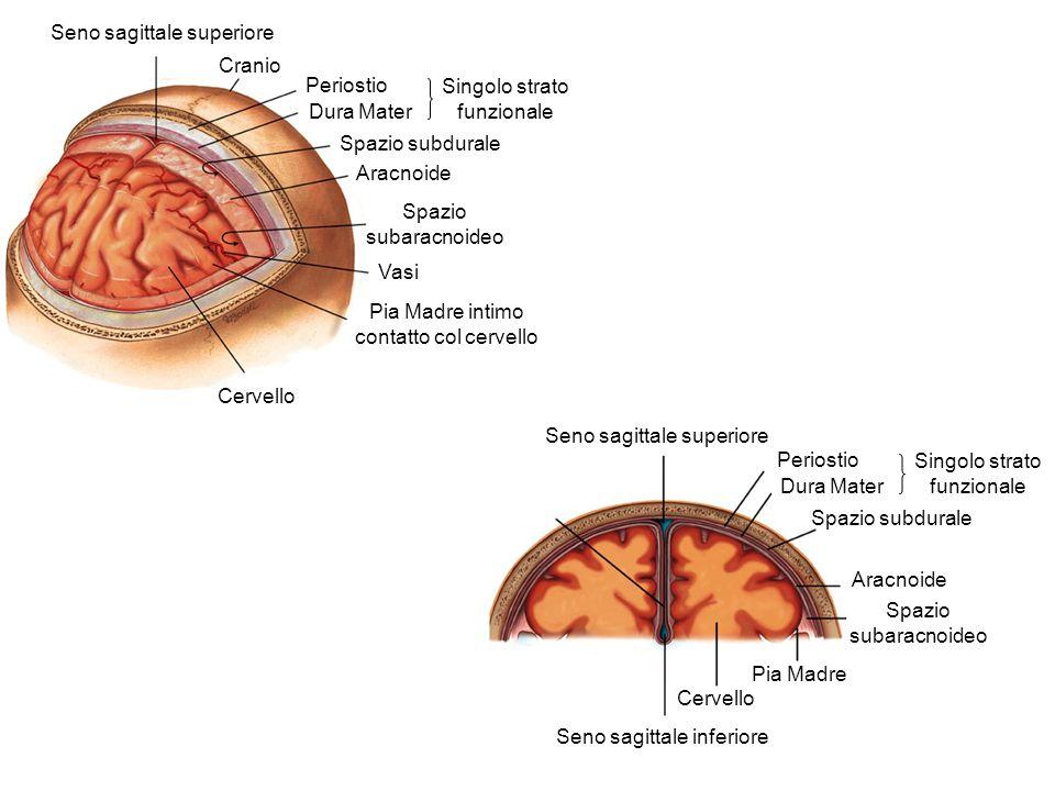 Cranio Periostio Dura Mater Singolo strato funzionale Spazio subdurale Aracnoide Spazio subaracnoideo Vasi Pia Madre intimo contatto col cervello Cerv