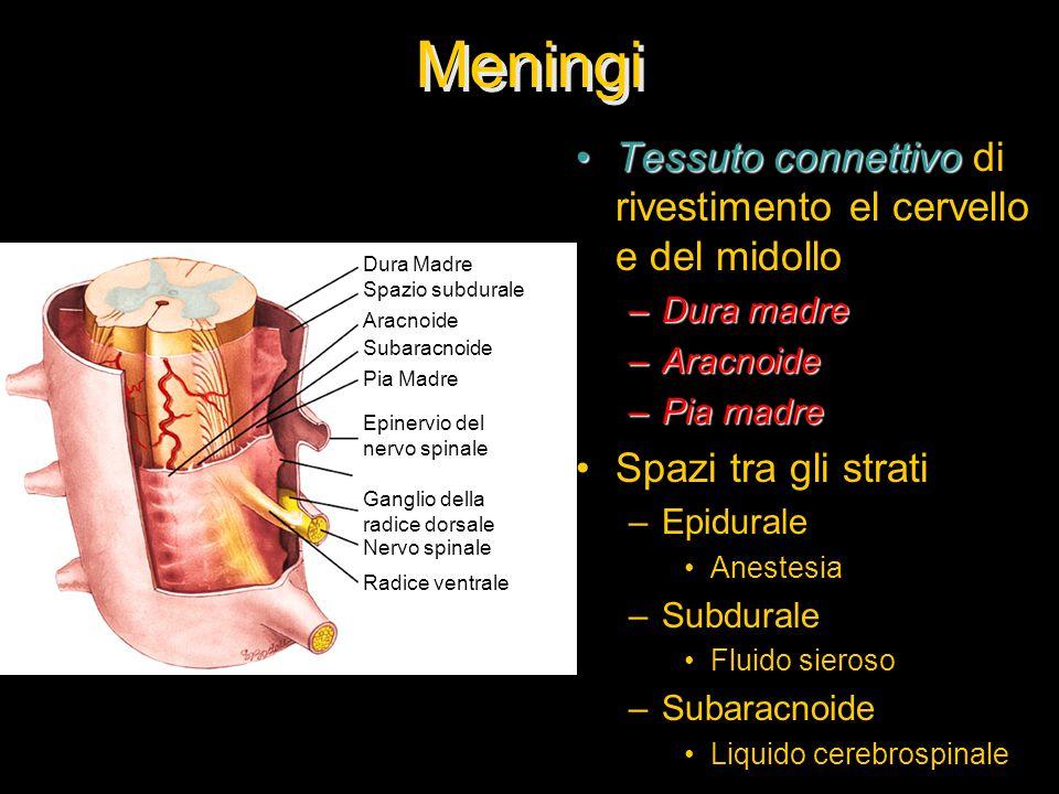 Meningi Tessuto connettivoTessuto connettivo di rivestimento el cervello e del midollo –Dura madre –Aracnoide –Pia madre Spazi tra gli strati –Epidurale Anestesia –Subdurale Fluido sieroso –Subaracnoide Liquido cerebrospinale Dura Madre Spazio subdurale Aracnoide Subaracnoide Pia Madre Epinervio del nervo spinale Ganglio della radice dorsale Nervo spinale Radice ventrale