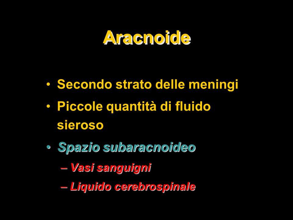Aracnoide Secondo strato delle meningi Piccole quantità di fluido sieroso Spazio subaracnoideoSpazio subaracnoideo –Vasi sanguigni –Liquido cerebrospinale