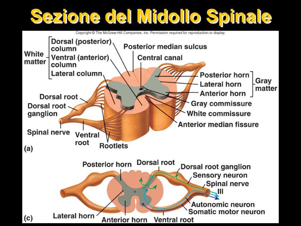 Sezione del Midollo Spinale