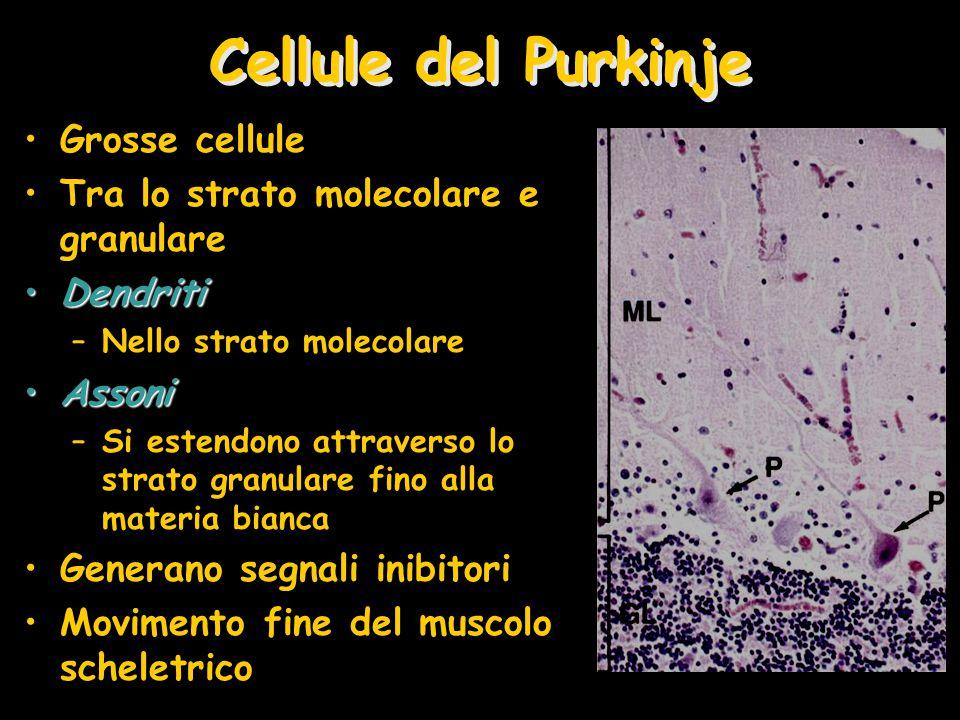 Cellule del Purkinje Grosse cellule Tra lo strato molecolare e granulare DendritiDendriti –Nello strato molecolare AssoniAssoni –Si estendono attraverso lo strato granulare fino alla materia bianca Generano segnali inibitori Movimento fine del muscolo scheletrico