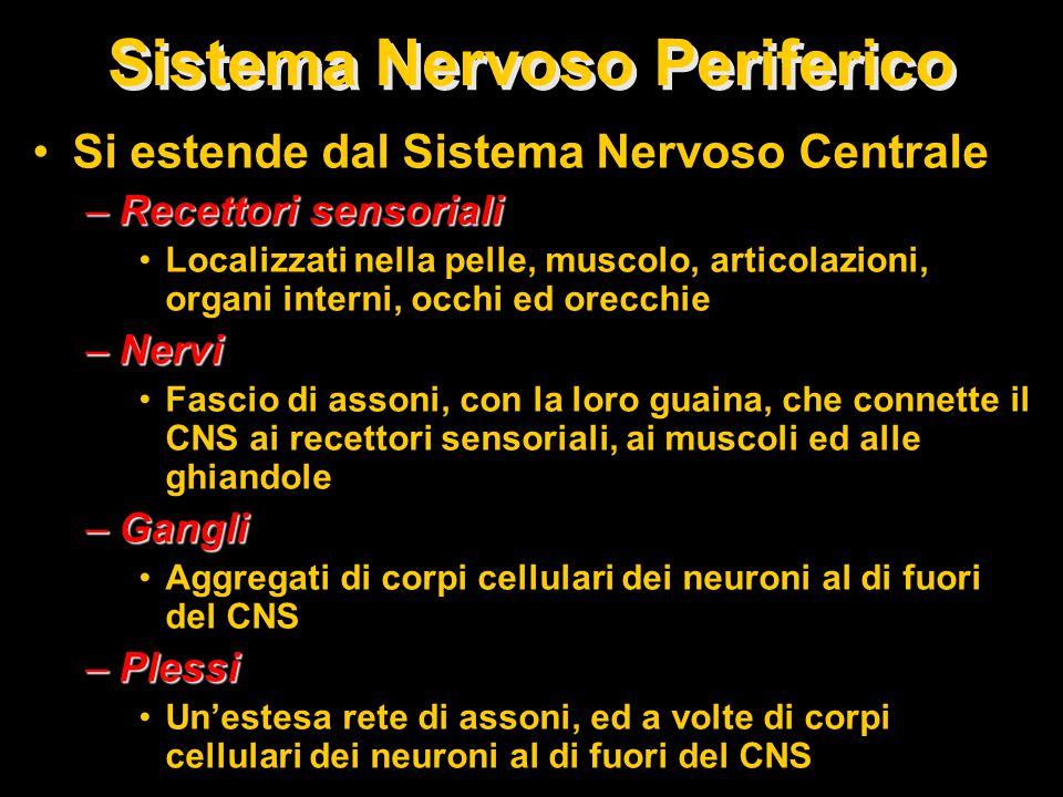 Si estende dal Sistema Nervoso Centrale –Recettori sensoriali Localizzati nella pelle, muscolo, articolazioni, organi interni, occhi ed orecchie –Nervi Fascio di assoni, con la loro guaina, che connette il CNS ai recettori sensoriali, ai muscoli ed alle ghiandole –Gangli Aggregati di corpi cellulari dei neuroni al di fuori del CNS –Plessi Un'estesa rete di assoni, ed a volte di corpi cellulari dei neuroni al di fuori del CNS