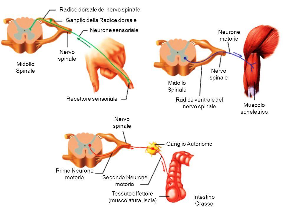 Radice dorsale del nervo spinale Ganglio della Radice dorsale Neurone sensoriale Nervo spinale Midollo Spinale Recettore sensoriale Neurone motorio Nervo spinale Midollo Spinale Radice ventrale del nervo spinale Muscolo scheletrico Nervo spinale Ganglio Autonomo Intestino Crasso Primo Neurone motorio Secondo Neurone motorio Tessuto effettore (muscolatura liscia)