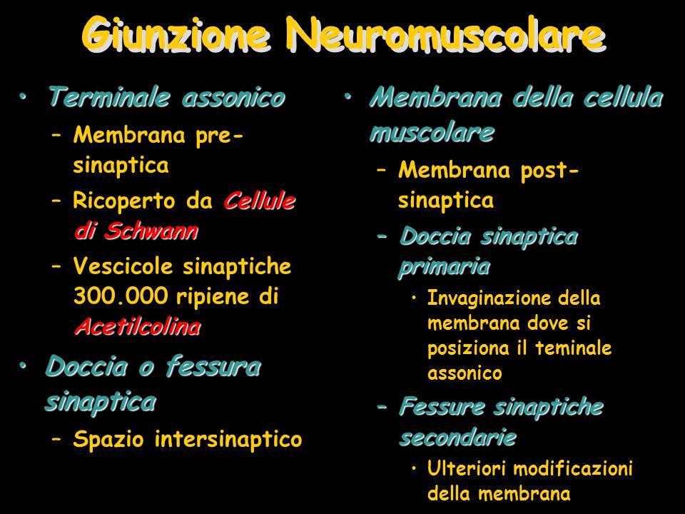 Giunzione Neuromuscolare Terminale assonicoTerminale assonico –Membrana pre- sinaptica Cellule di Schwann –Ricoperto da Cellule di Schwann Acetilcolina –Vescicole sinaptiche 300.000 ripiene di Acetilcolina Doccia o fessura sinapticaDoccia o fessura sinaptica –Spazio intersinaptico Membrana della cellula muscolareMembrana della cellula muscolare –Membrana post- sinaptica –Doccia sinaptica primaria Invaginazione della membrana dove si posiziona il teminale assonico –Fessure sinaptiche secondarie Ulteriori modificazioni della membrana
