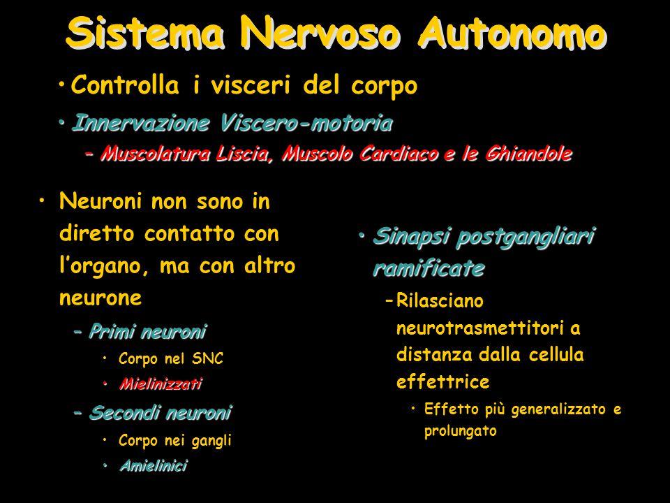 Sistema Nervoso Autonomo Neuroni non sono in diretto contatto con l'organo, ma con altro neurone –Primi neuroni Corpo nel SNC MielinizzatiMielinizzati