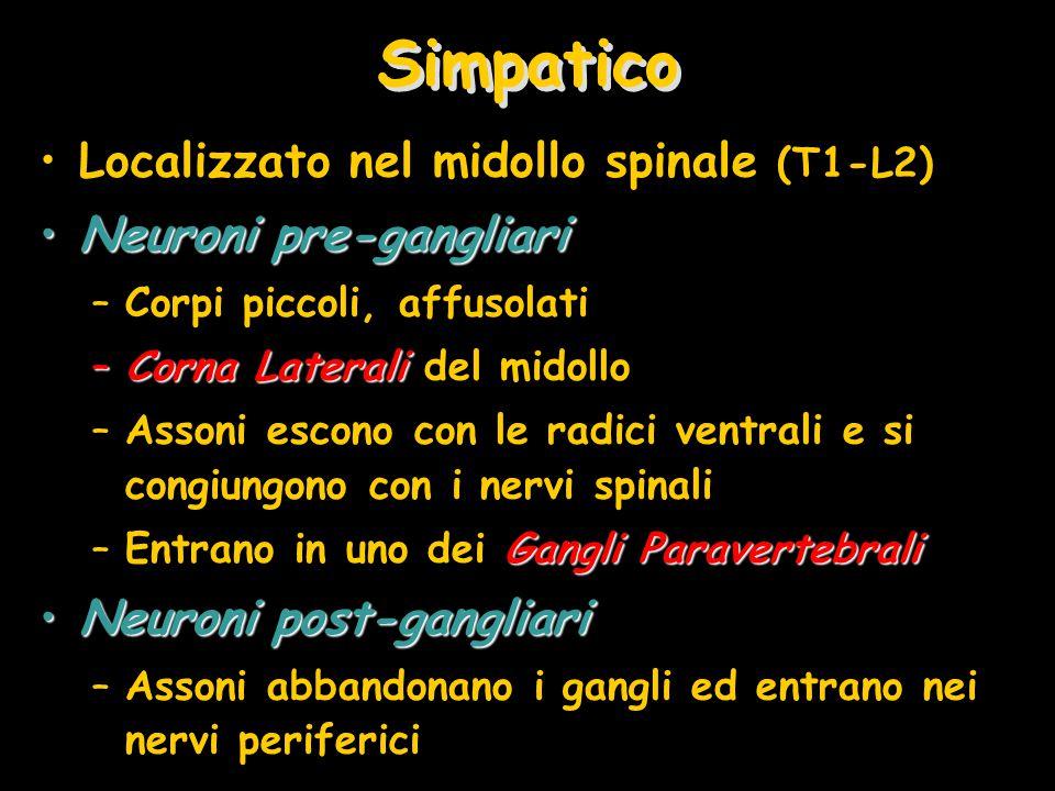 Simpatico Localizzato nel midollo spinale (T1-L2) Neuroni pre-gangliariNeuroni pre-gangliari –Corpi piccoli, affusolati –Corna Laterali –Corna Laterali del midollo –Assoni escono con le radici ventrali e si congiungono con i nervi spinali Gangli Paravertebrali –Entrano in uno dei Gangli Paravertebrali Neuroni post-gangliariNeuroni post-gangliari –Assoni abbandonano i gangli ed entrano nei nervi periferici