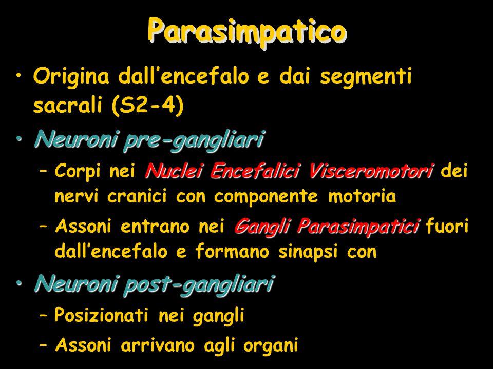 Parasimpatico Origina dall'encefalo e dai segmenti sacrali (S2-4) Neuroni pre-gangliariNeuroni pre-gangliari Nuclei Encefalici Visceromotori –Corpi nei Nuclei Encefalici Visceromotori dei nervi cranici con componente motoria Gangli Parasimpatici –Assoni entrano nei Gangli Parasimpatici fuori dall'encefalo e formano sinapsi con Neuroni post-gangliariNeuroni post-gangliari –Posizionati nei gangli –Assoni arrivano agli organi