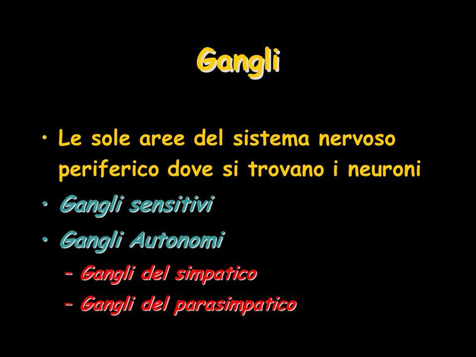 Gangli Le sole aree del sistema nervoso periferico dove si trovano i neuroni Gangli sensitiviGangli sensitivi Gangli AutonomiGangli Autonomi –Gangli del simpatico –Gangli del parasimpatico