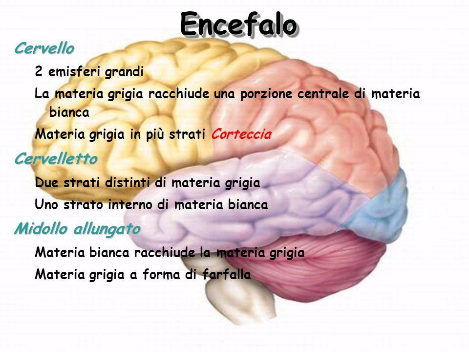 EncefaloEncefalo Cervello 2 emisferi grandi La materia grigia racchiude una porzione centrale di materia bianca Corteccia Materia grigia in più strati CortecciaCervelletto Due strati distinti di materia grigia Uno strato interno di materia bianca Midollo allungato Materia bianca racchiude la materia grigia Materia grigia a forma di farfalla