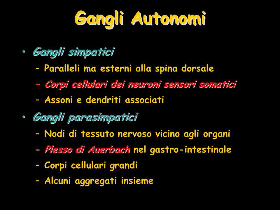 Gangli Autonomi Gangli simpaticiGangli simpatici –Paralleli ma esterni alla spina dorsale –Corpi cellulari dei neuroni sensori somatici –Assoni e dend