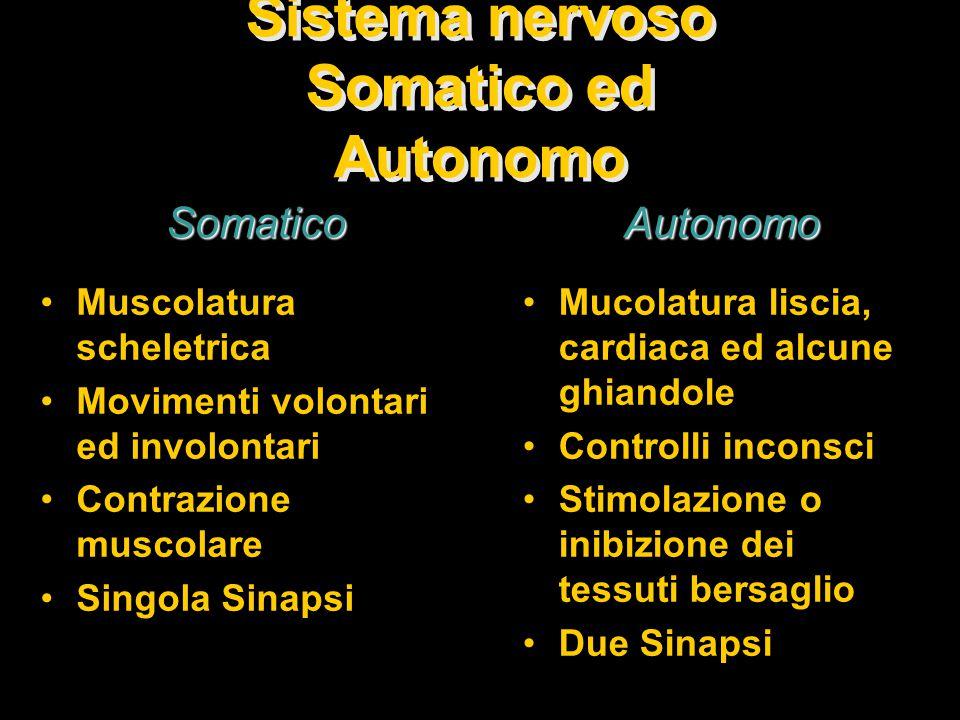 Sistema nervoso Somatico ed Autonomo Muscolatura scheletrica Movimenti volontari ed involontari Contrazione muscolare Singola Sinapsi Mucolatura liscia, cardiaca ed alcune ghiandole Controlli inconsci Stimolazione o inibizione dei tessuti bersaglio Due Sinapsi Somatico Autonomo