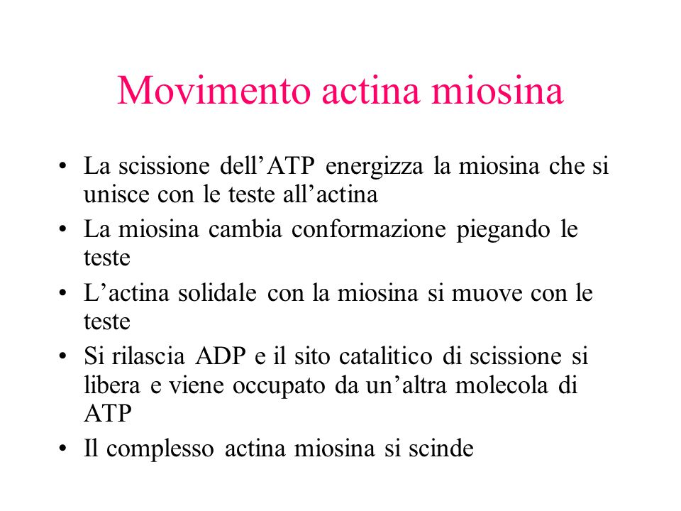 Movimento actina miosina La scissione dell'ATP energizza la miosina che si unisce con le teste all'actina La miosina cambia conformazione piegando le