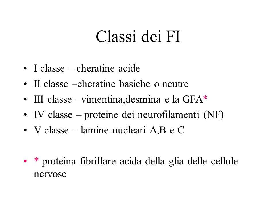 Classi dei FI I classe – cheratine acide II classe –cheratine basiche o neutre III classe –vimentina,desmina e la GFA* IV classe – proteine dei neurof