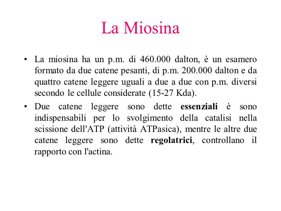 La Miosina La miosina ha un p.m. di 460.000 dalton, è un esamero formato da due catene pesanti, di p.m. 200.000 dalton e da quattro catene leggere ugu