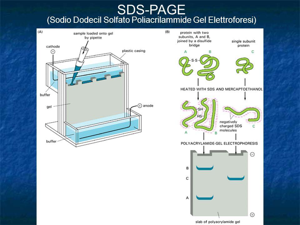 SDS-PAGE (Sodio Dodecil Solfato Poliacrilammide Gel Elettroforesi)