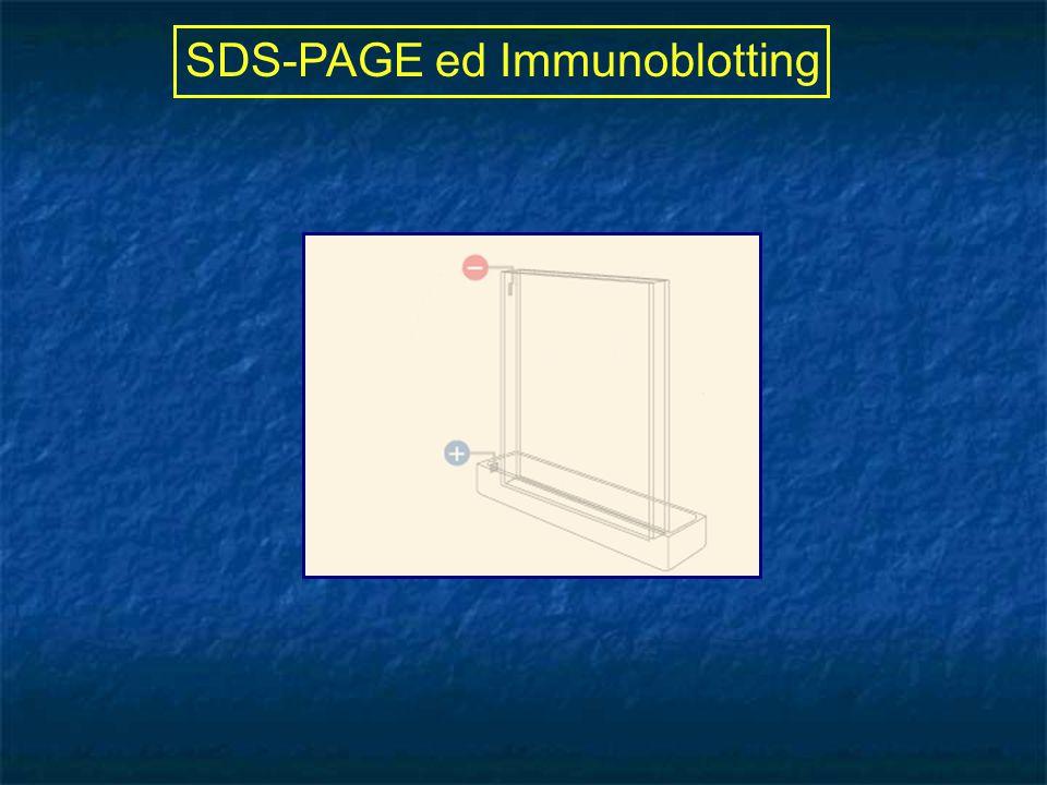 SDS-PAGE ed Immunoblotting